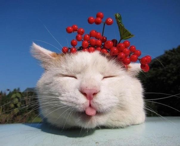 Кот, пребывающий в дзене — Широнеко из Японии. Котик Широнеко почти все время блажено жмурится на солнышке и терпеливо сносит глупейшие выходки своего хозяина. За его удивительную способность к
