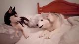 Cute Husky Argument