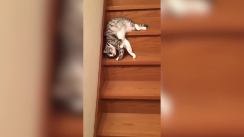 Lazy Cat Down the Stairs - Laziest Cat Ever - Funny Cat Videos