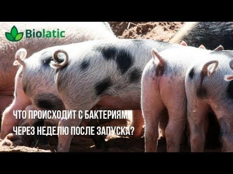 Результат от бактерий для подстилки Biolatic