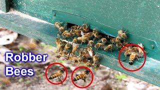 Apis Dorsata Воруют Мед у Медоносных Пчел