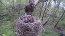 Дрозд-рябинник (лат. Turdus pilaris) кормит птенцов