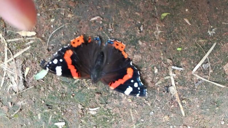 Бабочка засыпает. Жаль, что у такой красоты очень короткая жизнь.