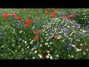 Poppies Cornflowers and Daisies Маки васильки и Ромашки