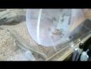 масковые игуанки