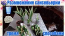 Размножение сансевьерии сансевиера сансивьерия Sansevieria тремя способами в домашних условиях