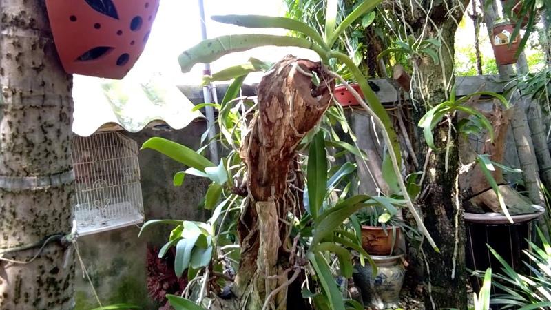 Thăm quan vườn lan Đai Châu ghép trụ vừa đẹp vừa khủng ở Thành phố Bắc Giang