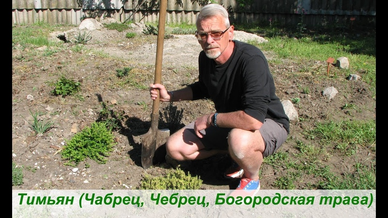 Тимьян Чабрец Чебрец Богородская трава