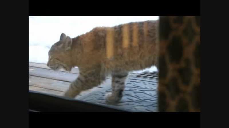 Кот против рыси Cat vs bobcat