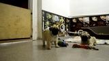 Питомник Himmell Vahe - щенок мопса гавкает на камеру