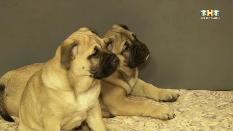 хочу собаку кадебо ка де бо, ка-де-бо, ca de bou