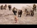 Wild Animals Videos Lion vs Baboon - Videos African Animals