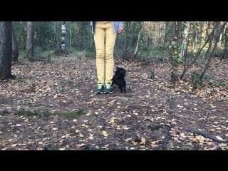 Chihuahua's tricks
