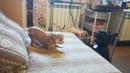 Чихуахуа и французский бульдог ровесники 4 мес