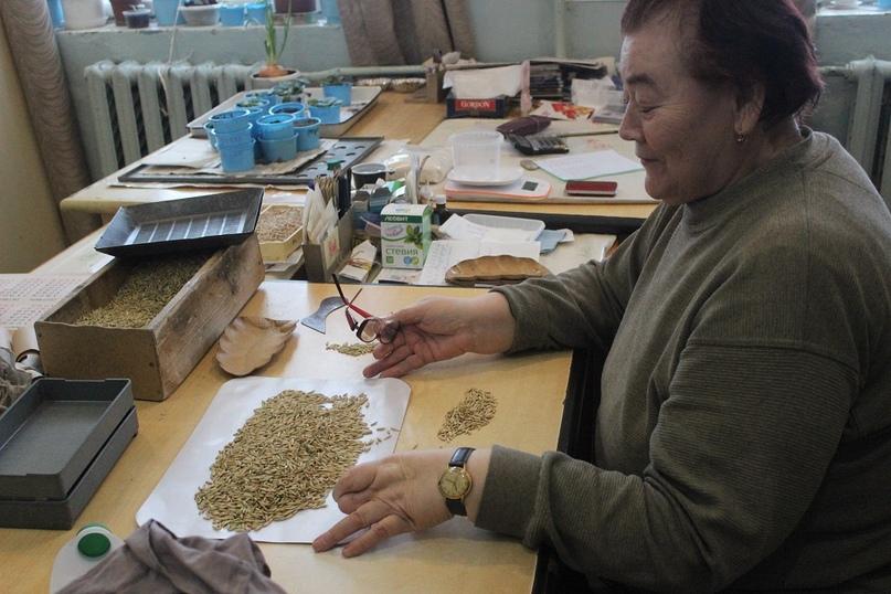 Любовь Алексеевна Балавина устроилась на работу в селекционную станцию после окончания института в 1976 году. На сегодняшний день она работает здесь 42 года.