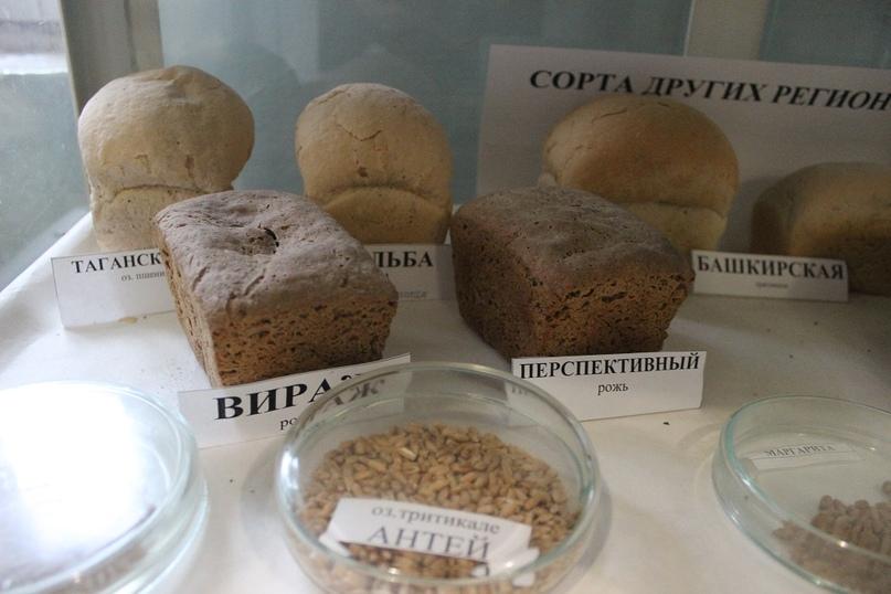 Пшеница и испеченный из нее хлеб в кабинете технологии
