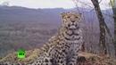 Селфи котят и «любовные письма» дальневосточные леопарды попали на видео