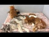 У кошек чужих детей не бывает. Кошка Дайкири кормит котят кошки Гранты