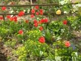 Самая яркая Весна 2015. ФОТО ВЕСНА Первые цветы Тюльпаны И очень красивый розовый куст.