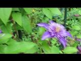 _8133  Мульти Блю, клематис, цветение