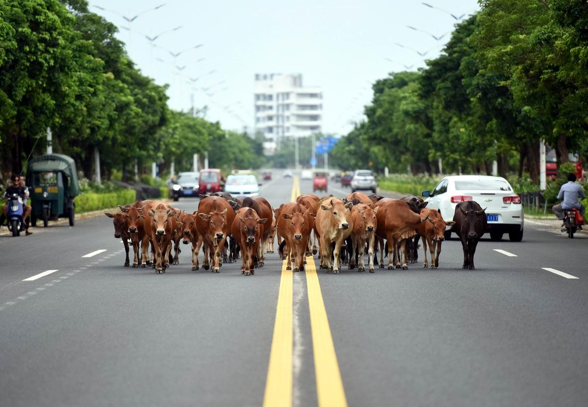 Раздайтесь, люди - мы идем: Китайские коровы посреди шоссе
