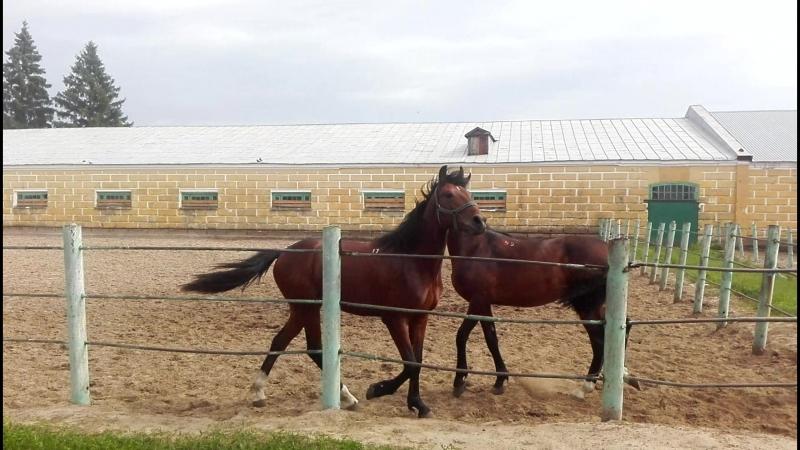 Лошадки на Хреновском конезаводе