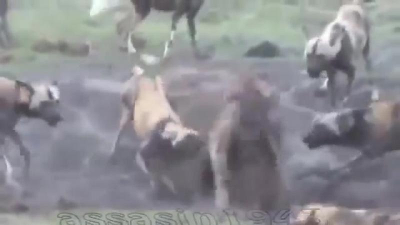 Стая диких собак загнала гиену