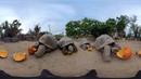 Tortoises Devour Pumpkins in 360