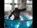 горилла в бассейне