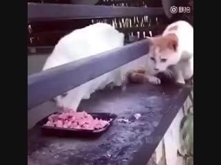 Жадина-говядина