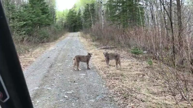 Канадская семья на отдыхе встретила двух диких рысей которые ругались на повышенных тонах У нас с потеплением во дворе на ла