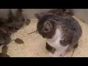Безразличная кошка и куча мышей