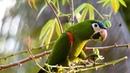 Red shouldered macaw Малый синелобый ара Diopsittaca nobilis