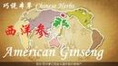 巧说本草 西洋参 Chinese Herbs American Ginseng