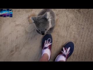 ручная коала