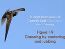 COMMON SWIFT - In flight grooming - FIGURE 19 : Grooming by contorting and rubbing
