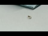 Je vous présente tous une fourmi juive qui vole des diamants