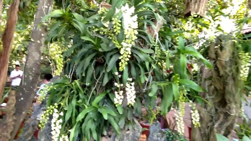 Mùa lan Quế- chiêm ngưỡng vườn lan quế của anh thợ mộc mê hoa lan