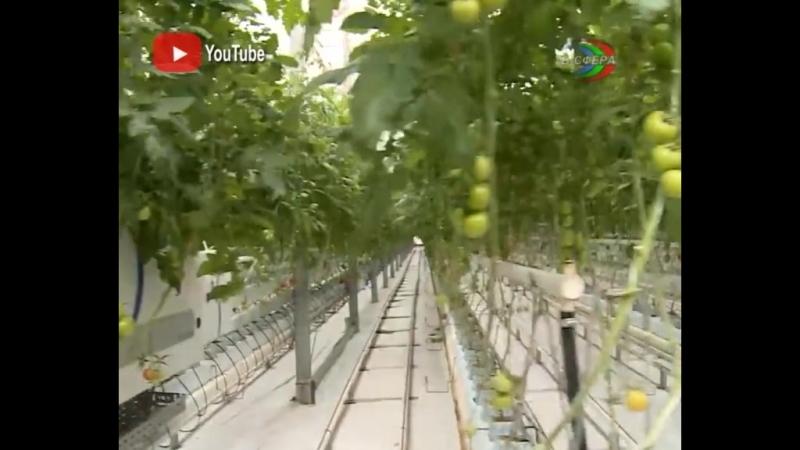 Ждём обвала цен на помидоры