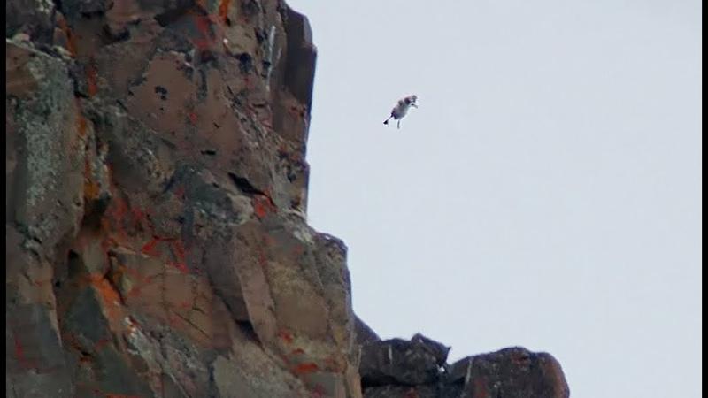 Un poussin saute d'une falaise volontairement ! - ZAPPING SAUVAGE
