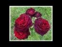 Astrid Grafin von Hardenberg Графини роза