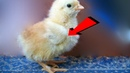 Почему цыплята опускают крылья и дохнут? Причины