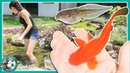 Fish Pond or Frog Pond? POND UPDATES