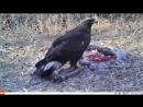 Беркут поедает молодого пятнистого оленя, которого он поймал. Вес оленя около 45 кг.