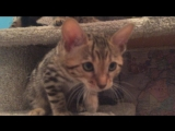 котик Леонидес