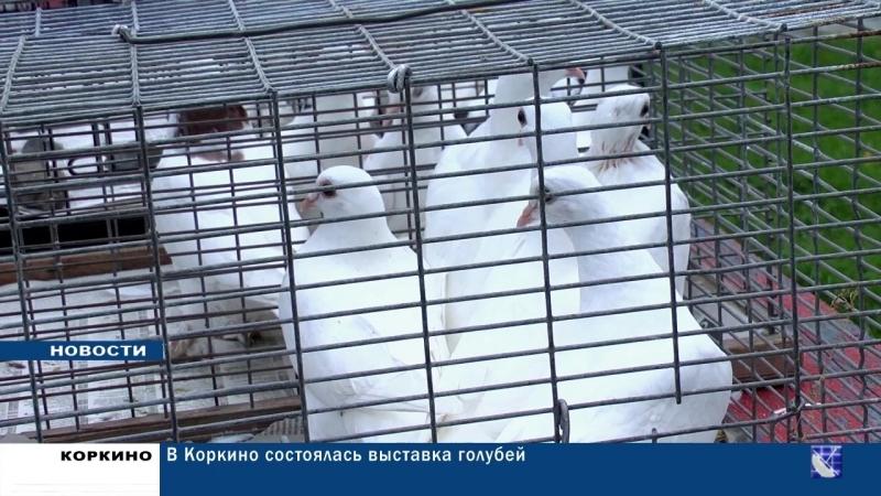 В Коркино состоялась выставка голубей Ассоциации любителей Урало-Сибирского региона