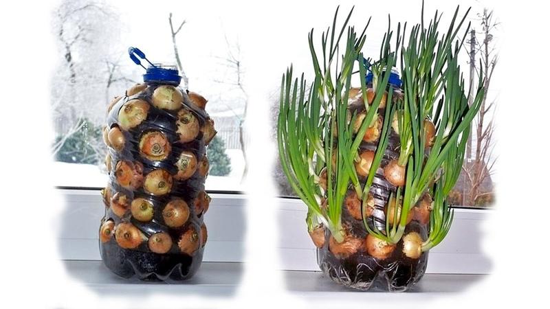 Как вырастить лук зимой на подоконнике в пластиковой бутылке