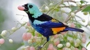 Pássaros Silvestres BR (Brazilian Birds) parte 1 Saíra, Uirapuru, Pintor-Verdadeiro, Beija-flor