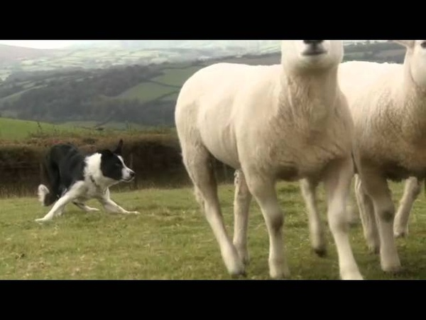 Beautiful Sheepdogs ( Border Collie Collies ) in training