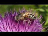 пчелка жужу